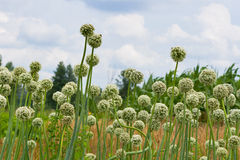 Blossoming onion Royalty Free Stock Photography