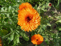 Blossoming orange pot marigold (calendula) flowers. Stock Photos