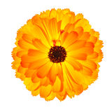 Blossoming Orange Pot Marigold Flower Isolated. One Blossoming Orange Pot Marigold Flower - Beautiful Calendula officinalis Isolated on White Background. Top Royalty Free Stock Photography