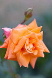 Blossoming orange rose. Bush with the blossoming orange rose stock photos
