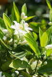 Blossoming orange tree Royalty Free Stock Images