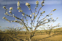 Blossoming orchard Stock Images