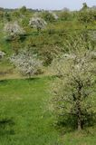 Blossoming orchard #5, baden Stock Photo
