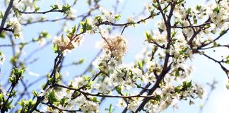 Free Blossoming Orchard In The Spring. Blooming Plum Orchard Tree On A Blue Sky Background. Spring Background. Spring Orchard. Stock Image - 113508871