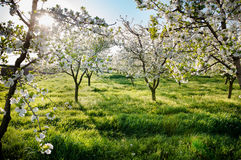 Blossoming  orchard  in spring Stock Images