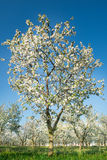 Blossoming  orchard  in spring Royalty Free Stock Photography