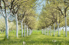 Blossoming orchard  in spring Royalty Free Stock Photo
