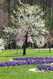Blossoming orchards in the spring. Blooming orchard trees and hyacinths flowers. Spring background. Spring orchard on sunlight. Sp. Ring flower field background Royalty Free Stock Photos