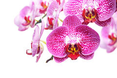 Blossoming orchid flower Stock Photography