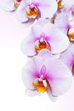 Blossoming orchid flower Royalty Free Stock Photo
