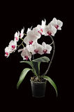 Blossoming orchid phalaenopsis. Royalty Free Stock Images