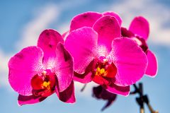 Blossoming orchid with pink petals on sunny day. Flower with fresh blossom on blue sky. Beauty of nature. Summer or spring season. Fragranc and freshness Royalty Free Stock Photos