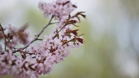 Blossoming Oriental cherry sakura stock footage