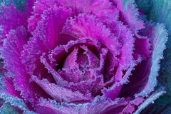 The Blossoming Ornamental Cauliflower in the Cold Weather royalty free stock photography