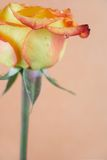 Blossoming out rose with a drop of water Royalty Free Stock Images