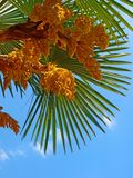 Blossoming palm tree against a blue sky Royalty Free Stock Photo