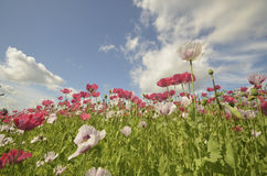 Blossoming Papaver Field. In the south of the netherlands with blue sky and clouds Royalty Free Stock Images