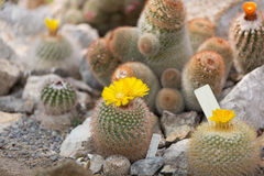 Blossoming Parodia cactus Royalty Free Stock Photos