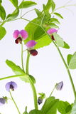 Blossoming of pea plant Royalty Free Stock Image