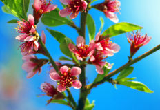 Blossoming peach Stock Image