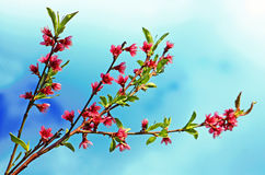 Blossoming peach Stock Photography
