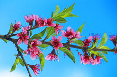 Blossoming peach Stock Images