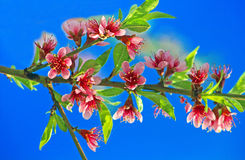 Blossoming peach on a blue background Royalty Free Stock Photography