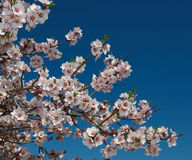 The blossoming peach branch. The beautiful flowering peach branch on sky background Royalty Free Stock Photo