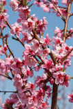 Blossoming peach close-up Stock Photos