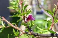 Blossoming peach, the color of the peach tree in the early sprin Royalty Free Stock Images