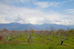Blossoming peach orchard in spring Royalty Free Stock Image