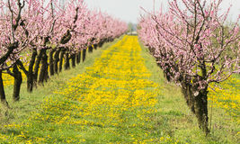 Blossoming peach orchard in spring time Stock Photos