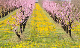 Blossoming peach orchard in spring time Royalty Free Stock Image