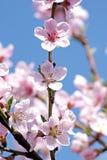 Blossoming Peach. Spring Stock Photos