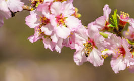 Blossoming peach tree Stock Photos