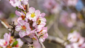 Blossoming peach tree Stock Photo