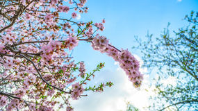 Blossoming peach tree branch Royalty Free Stock Photography