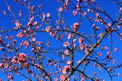 Blossoming peach tree Stock Photo