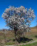 The blossoming peach tree in March. The beautiful flowering peach tree in the field Stock Photos