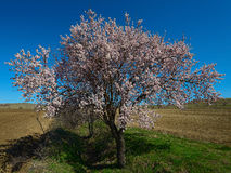 The blossoming peach tree in March. The beautiful flowering peach tree in the field Royalty Free Stock Images