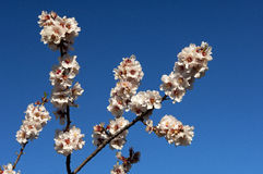 Blossoming peach trees Royalty Free Stock Photos