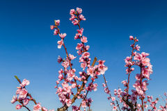 Blossoming peach trees treated with fungicides Royalty Free Stock Photo