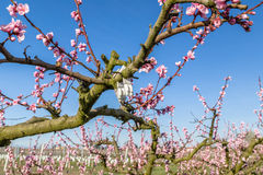 Blossoming peach trees treated with fungicides Stock Photography
