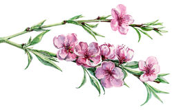 Blossoming peach , watercolor Royalty Free Stock Image