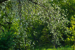 Blossoming pear. Stock Photo