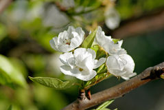 Blossoming Pear. Spring Royalty Free Stock Image