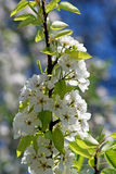 Blossoming Pear. Spring Royalty Free Stock Photos