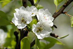 Blossoming Pear. Spring Royalty Free Stock Images