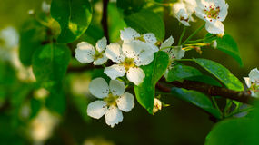 Blossoming pear-tree Royalty Free Stock Images