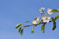 Blossoming pear tree branch. One isolated blossoming pear tree branch with green leaves and white flowers on the blue sky background, closeup. Horizontal format Royalty Free Stock Photos